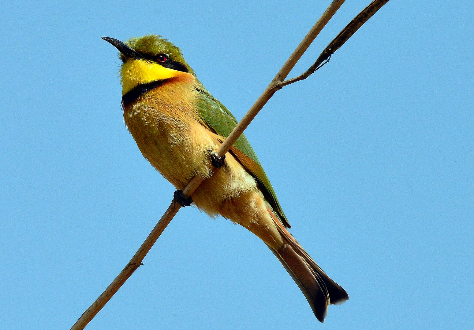 Little Bee eater in West Africa by Tomas Ache