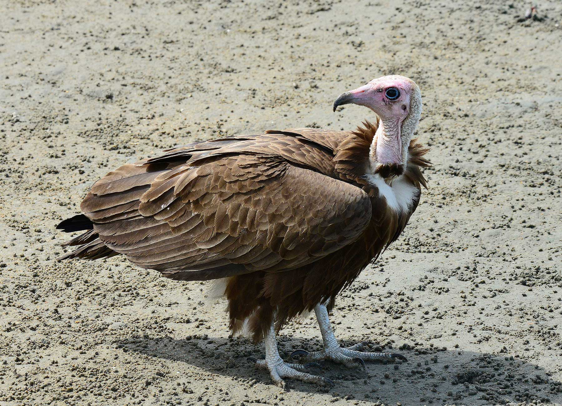 Hooded Vulture in West Africa by Tomas Ache