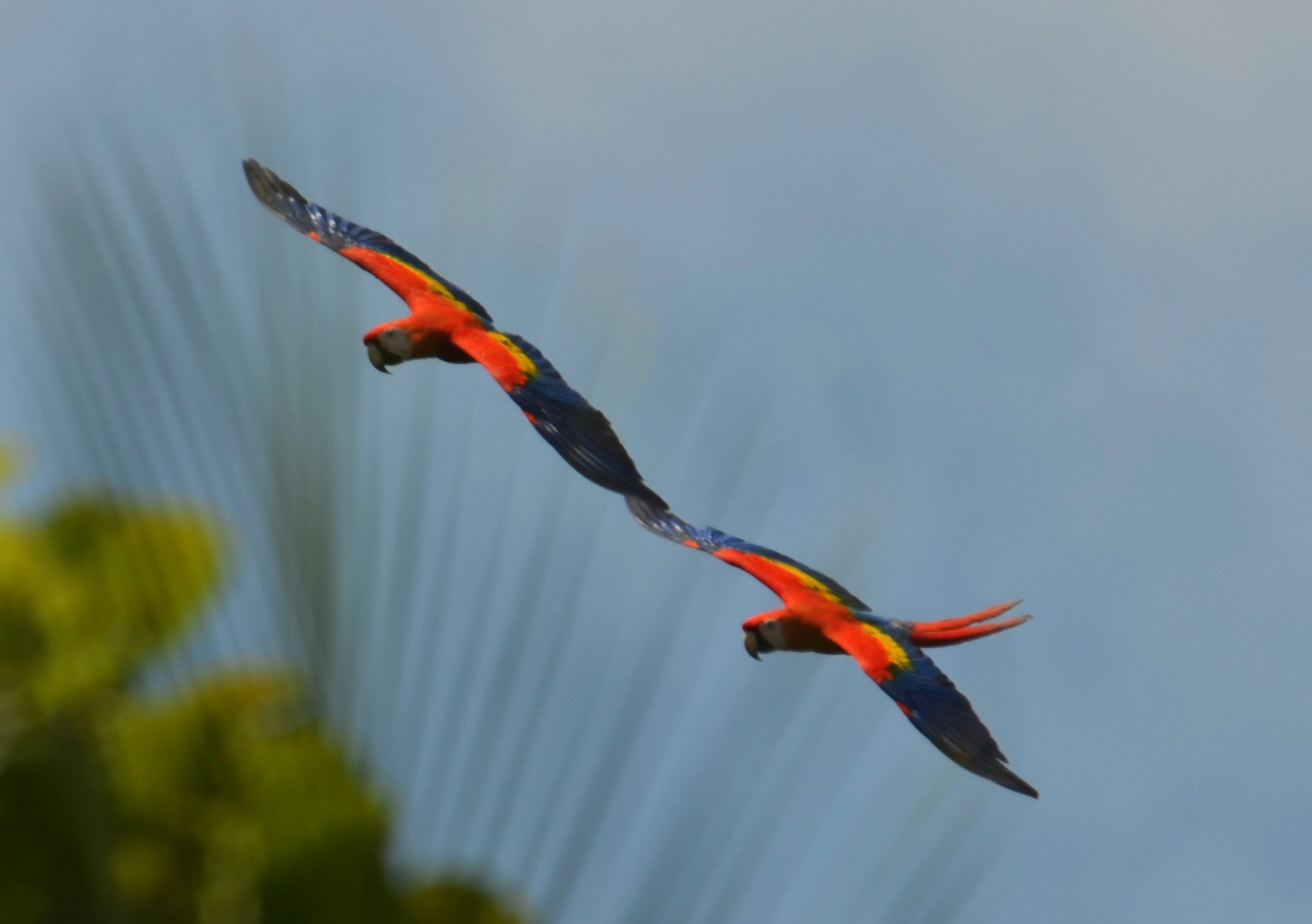 Scarlet Macaws in Cocalito Beach, Cape Verde by Alan Key
